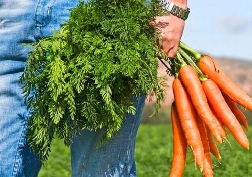 Морковный компресс от геморроя: лечебные свойства, показания и противопоказания для применения, рецепты приготовления морковного лекарства и техника лечения